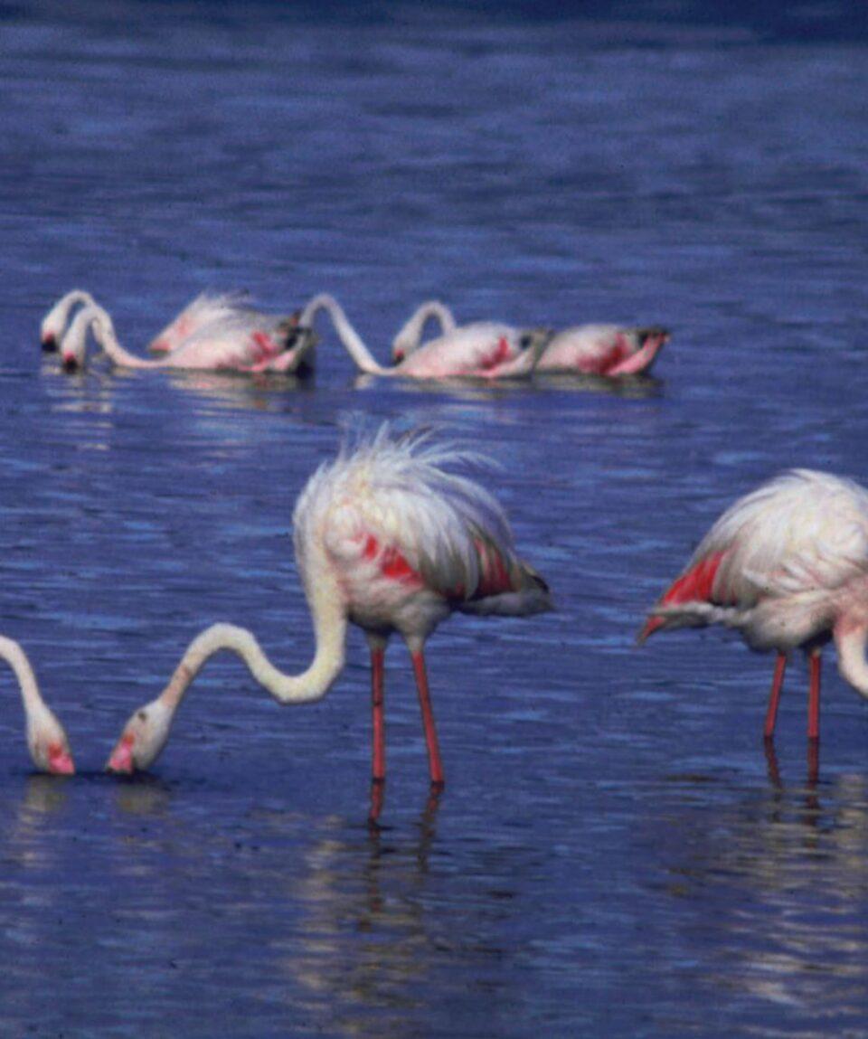 Flamingos-Lake-Nakuru-Kenya - Copy
