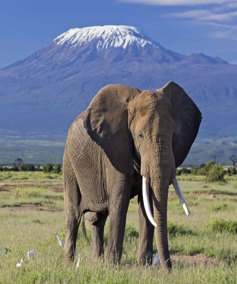 elephant-bull-front-of-kilimanjaro-amboseli 20