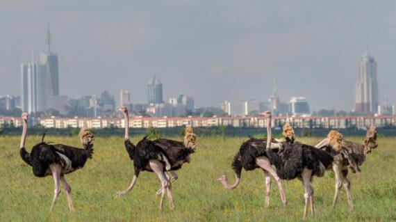 avestruces-parque-nacional-nairobi